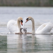 Mute-Swans-and-Cygnets-9991