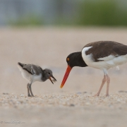 Oyster-Catcher-Chick-7673