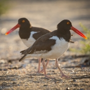 Oyster Catchers 7360