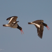 Oyster-Catchers-7528