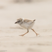 Piping Plover Chick 3898