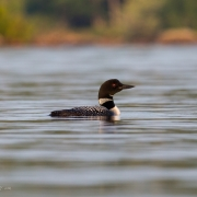 Common Loon Q54A4405