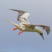 Red Footed Booby 0965