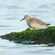 Red Knot 2709