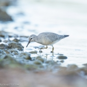 Red Knot 5253