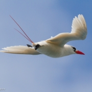 Red Tailed Tropic Bird0883