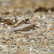 Semipalmated Plovers 2597