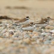 Semipalmated Plovers 2609