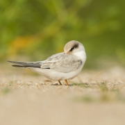 Least Tern Chick 10