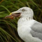 Gull with Starfish 29