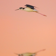 Black Necked Stilt 33