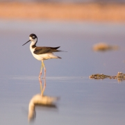 Black Necked Stilt 34