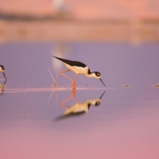 Black Necked Stilt 35