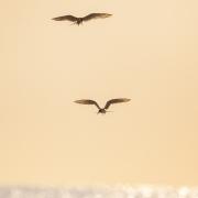 Least Terns 8