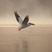 White-Pelican-4460