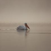 White-Pelican-4471