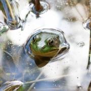 Bullfrog 6118