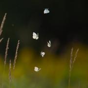 Butterflies 9763