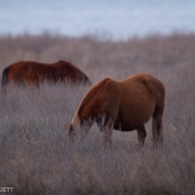 Chincoteague Ponies 1247