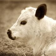 Cow3808