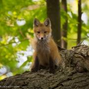 Fox Kit 1122