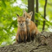 Fox Kit 1319