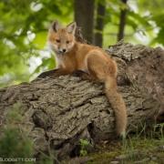 Fox Kit 1343