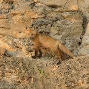 Fox Kit 1423