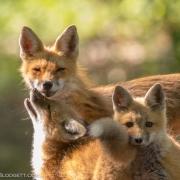 Fox Kit & Mom 1052