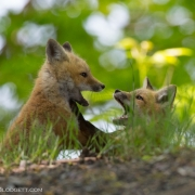 Fox Kits Tossle 1181