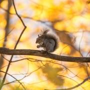 Gray Squirrel 2071