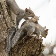 Gray Squirrel 8991