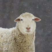Sheep in Snow 1103 copy