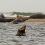 Seals, Cape Cod