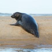 Seal, Cape Cod