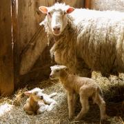 Mom & Lambs 9717