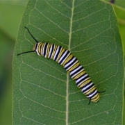 Monarch Caterpillar 6169_2