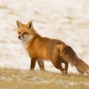 Red Fox Q54A9861