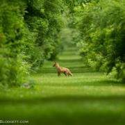 Red Fox 1594