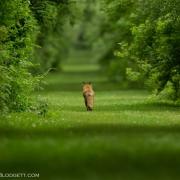 Red Fox 1629