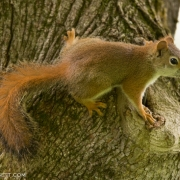 Red Squirrel 1691