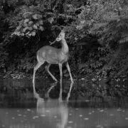 White Tailed Deer 5705