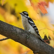 Hairy Woodpecker 54A0600
