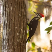 Pileated 4604