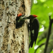 Pileated Family 5483