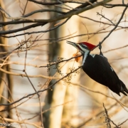 Pileated, Ithaca, NY Q54A0370
