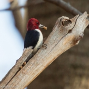 Red Headed Woodpecker 2351