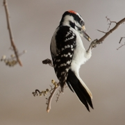 W Downy Woodpecker 0504