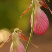 Lady Slipper 0810_2