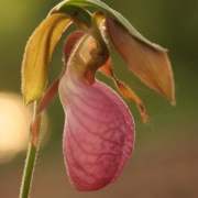 Lady Slipper 0815_2